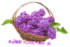 Pink lilac in a basket Royalty Free Stock Photography