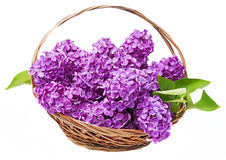 A pink lilac in a basket Royalty Free Stock Photos