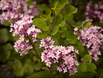 Pink Lilac. Blooming in the garden Royalty Free Stock Photography