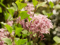 Pink Lilac. Blooming in the garden Royalty Free Stock Photo
