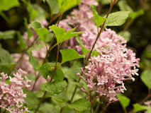 Pink Lilac. Blooming in the garden Stock Images