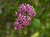 Pink Lilac. Blooming in the garden Stock Photo