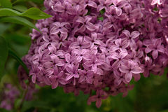 Pink Lilac. Blooming in the garden Stock Image