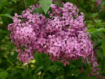 Pink Lilac. Blooming in the garden Royalty Free Stock Images