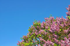 Pink lilac and blue sky Stock Photo