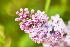 Pink lilac branch on green leaves in spring macro Stock Images