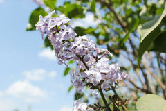 Pink lilac branch on green leaves in spring macro Royalty Free Stock Photo