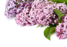 Pink lilac branch Royalty Free Stock Images