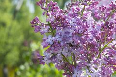 A pink lilac on a branch. A lilac bush of pink color in the park. stock photography