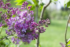 A pink lilac on a branch. A lilac bush of pink color in the park. stock photos
