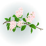 Pink lilac branch vector Stock Images