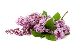 Pink lilac branches Royalty Free Stock Photo