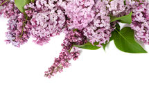 Pink lilac branches Royalty Free Stock Photos