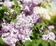 Pink lilac bush blooming Stock Photos