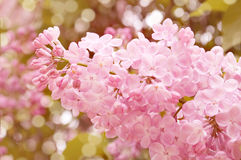 Pink Lilac Bush Royalty Free Stock Images