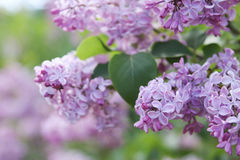 Pink lilac flower background Royalty Free Stock Photos
