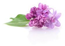 Pink lilac flower. Stock Image