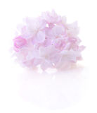 Pink lilac flower. Stock Photography