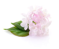 Pink lilac flower. Royalty Free Stock Image