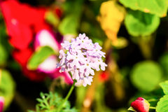 Pink lilac flower close-up. Selective focus (shallow depth of fi Stock Photography