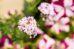 Pink lilac flower close-up. Selective focus (shallow depth of fi Royalty Free Stock Photo