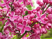 Pink lilac flowers Royalty Free Stock Image