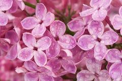 Pink lilac flowers after rain, close up. Stock Photos