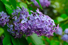 Pink lilac flowers in spring bloom - floral spring background. Royalty Free Stock Photo