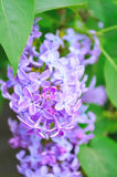 Pink lilac flowers in spring bloom - floral spring background. Stock Photography
