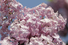 Pink lilac Royalty Free Stock Image
