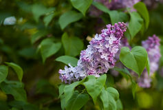 Pink lilac green background stock images