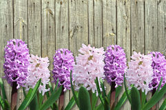 Pink and lilac hyacinth Royalty Free Stock Image