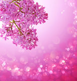 Pink lilac. Stock Images