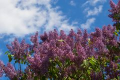 Pink lilac shrub Royalty Free Stock Photos
