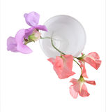 Pink and lilac sweet pea bloss. Oms in a white glass, shot from the top Royalty Free Stock Images