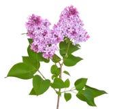 Pink lilac Syringa Stock Images