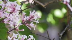 Pink Lilac Tree Blossoms stock video