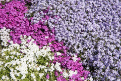 Pink, lilac and white phlox Royalty Free Stock Photo