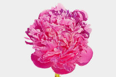 Pink-lilak peony (Peonia suffruticosa) isoleted. Stock Photo