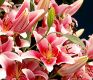 Pink liles. Pink lilies in the Keukenhof park Stock Photos
