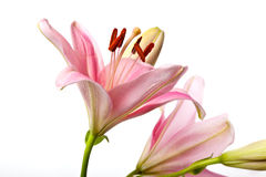 Pink Lilies Royalty Free Stock Photography