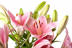 Pink Lilies Stock Photos
