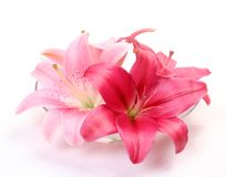 Free Pink Lilies Royalty Free Stock Photos - 18020648