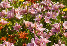 Pink lilies Stock Photography