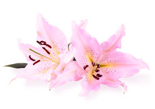 Pink lilies. Two pink lilies flowers on white background Royalty Free Stock Photo