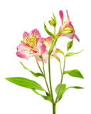 Pink lilies Stock Photo