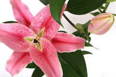 Pink lilies. Isolated on white Royalty Free Stock Photos