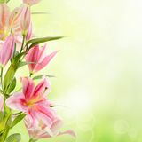 Pink lilies background Stock Photo