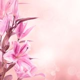Pink lilies background Stock Photos