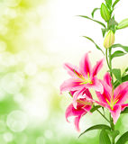 Pink lilies Stock Images